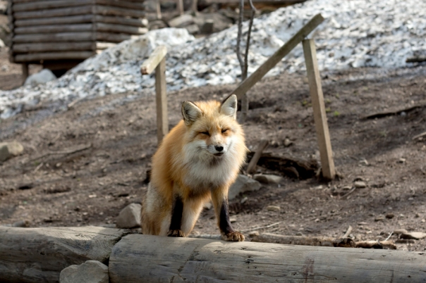 Some foxes come to greet you like this guy.