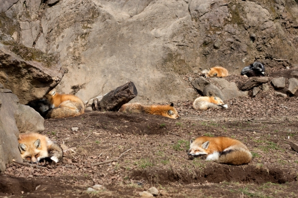 Don't let me fool you, there are a lot of foxes.