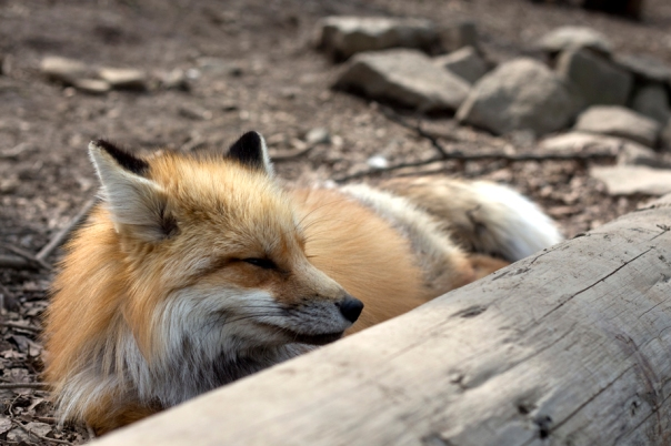 Out of 800+ pictures, how many are wistful foxes?